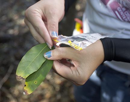 Bay laurel leaves showing signs of SOD