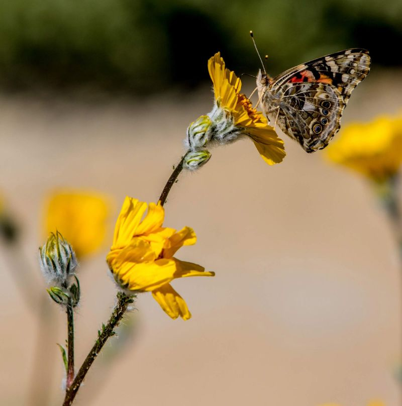 butterfly on yellow flower: link to NRS Giving webpage