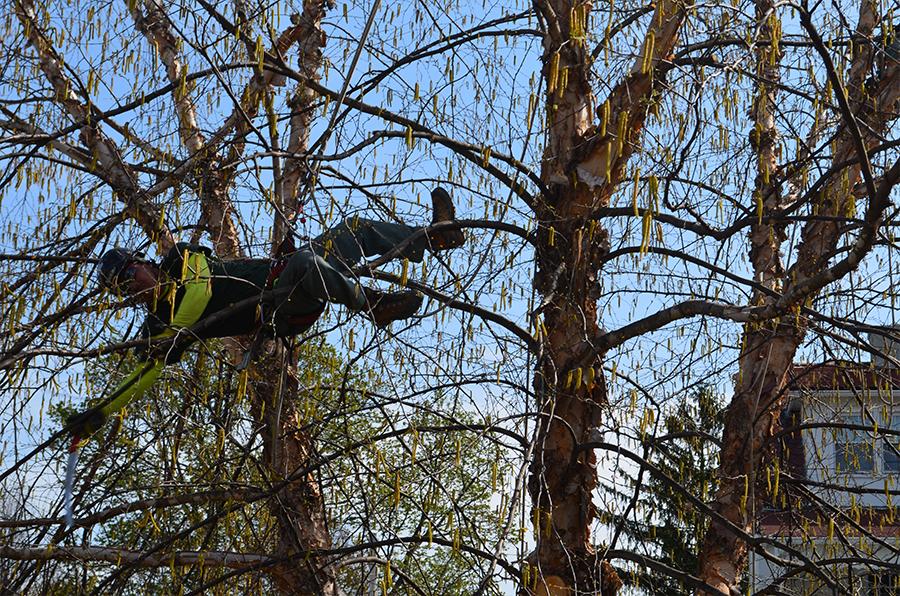 Arborist in tree
