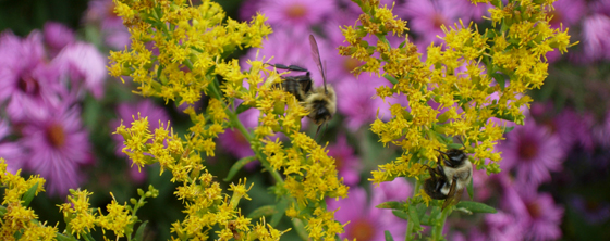 Solidago and Bees