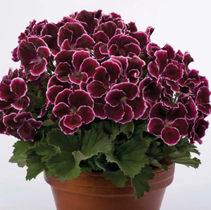 The burgundy aristo black beauty plant