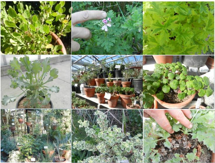 Les pelargonium, plus variés qu'on ne le croit