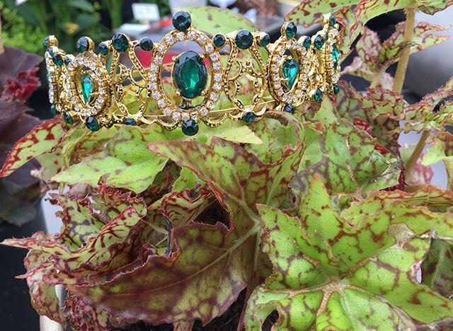 Crown Jewel Begonias