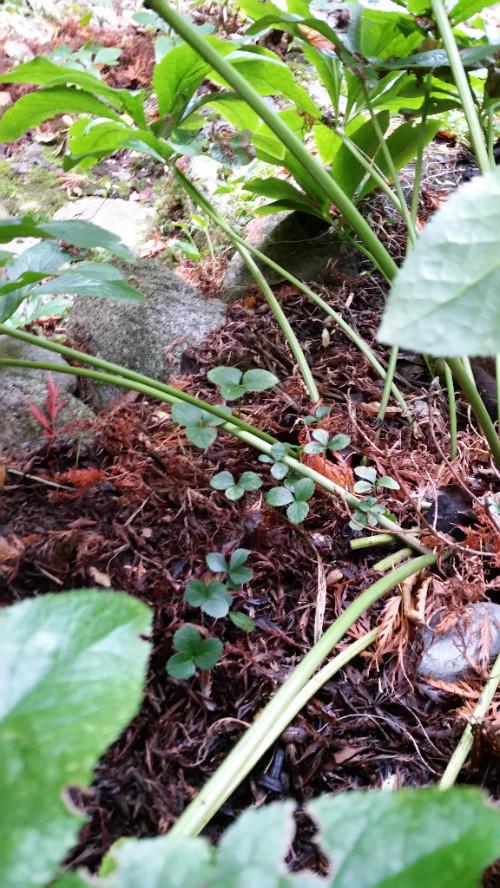 A helleborus nursey