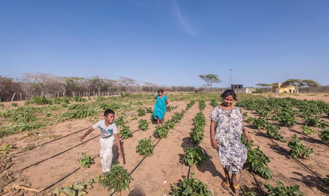 Indígenas Wayúu de la comunidad de Ishichon caminan por sus cultivos irrigados con agua obtenida a través energía solar; Maicao, Guajira; Foto: Hanz Rippe