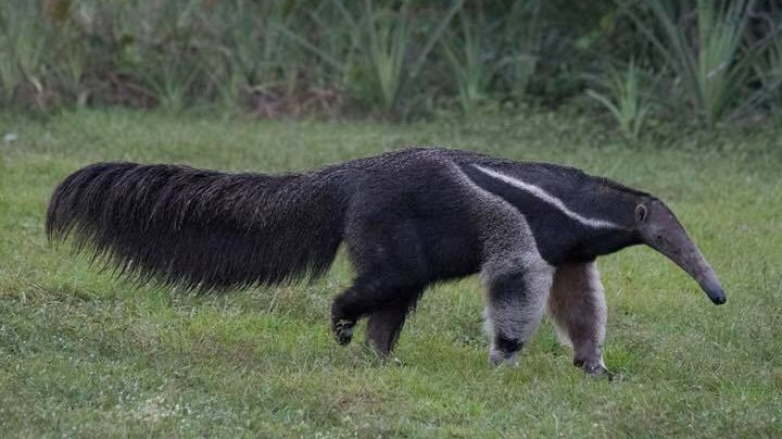 Giant anteater by Fred Barrington