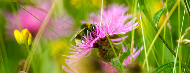 Photo: a bee amongst flowers and grasses