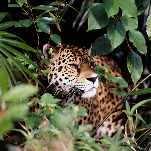 Jaguar hides in jungle foliage.