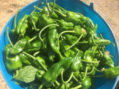 Harvested padrón peppers ready for the farm stand.