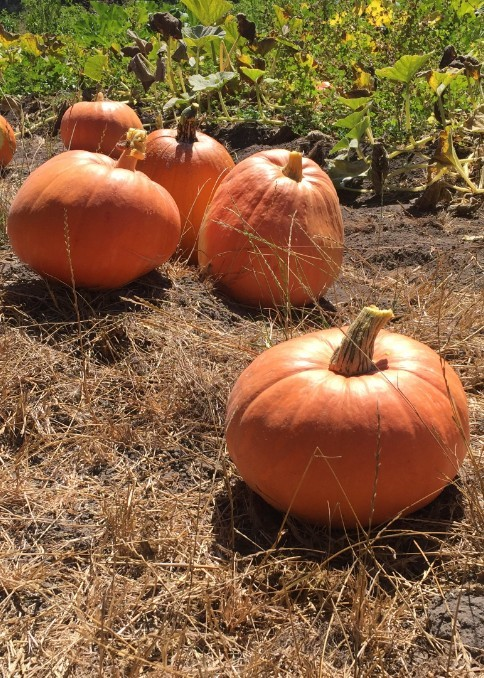 Harvested pumpkins in the field.