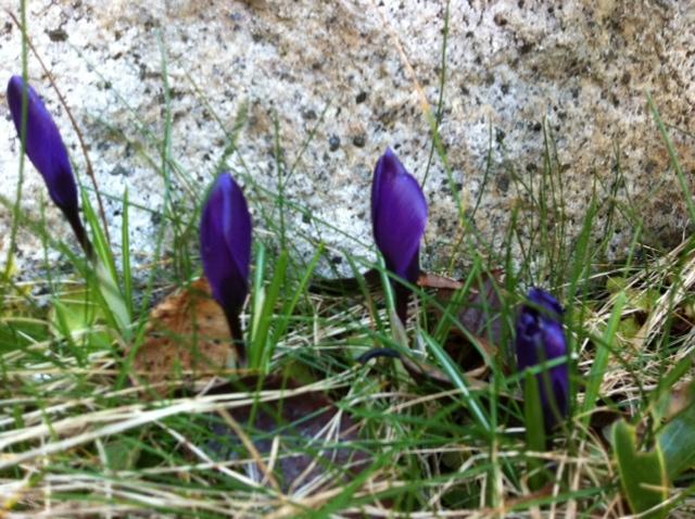 purple croci