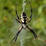 Black and Yellow spider on web