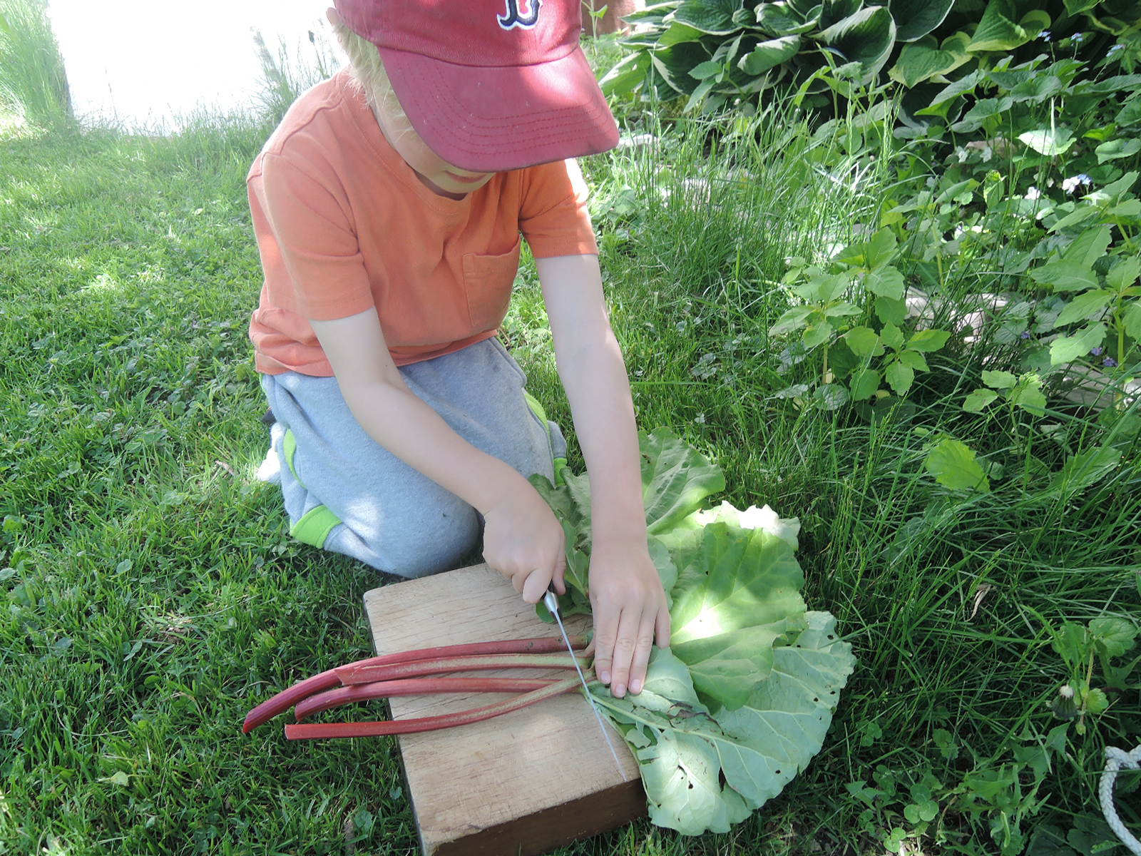 trimming rhubarb stalks