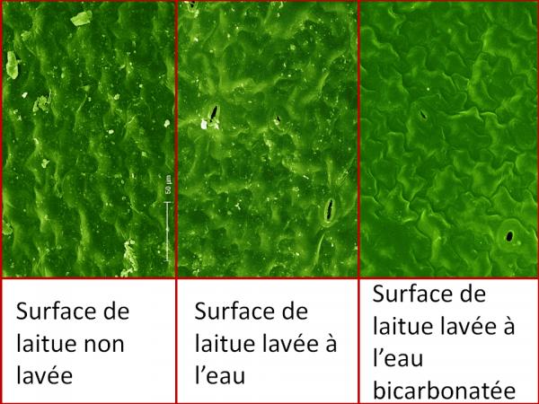 Surface de laitue lavée à l'eau bicarbonatée (microscope électronique)