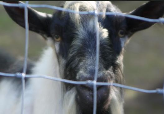 sand holler goat