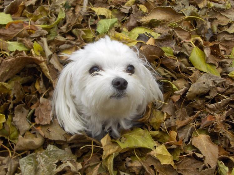 dog in leaf pile