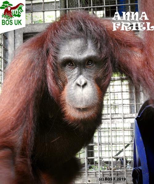 400th Orangutan Has Now Been Released