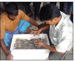 Winrock and Katalyst are helping prawn farmers in Bangladesh.