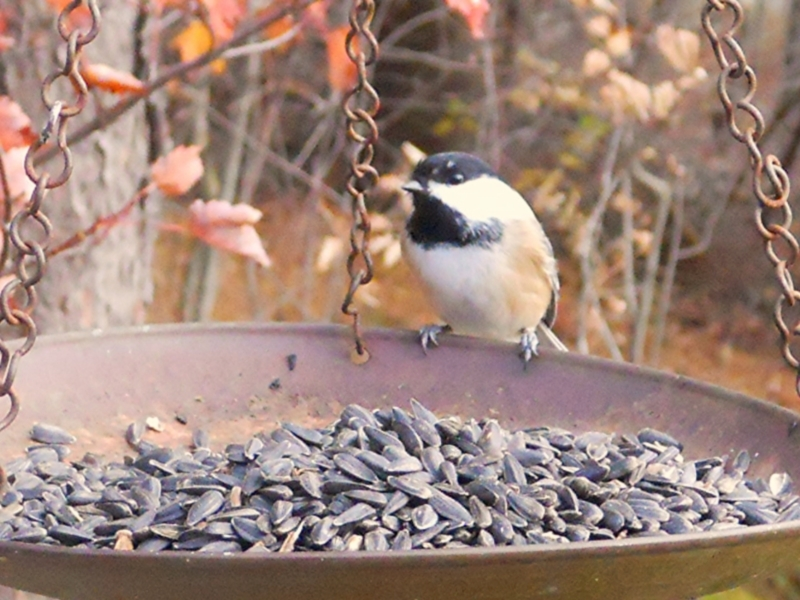 Black-capped chickadee on feeder; photo by Erin Talmage, 2010