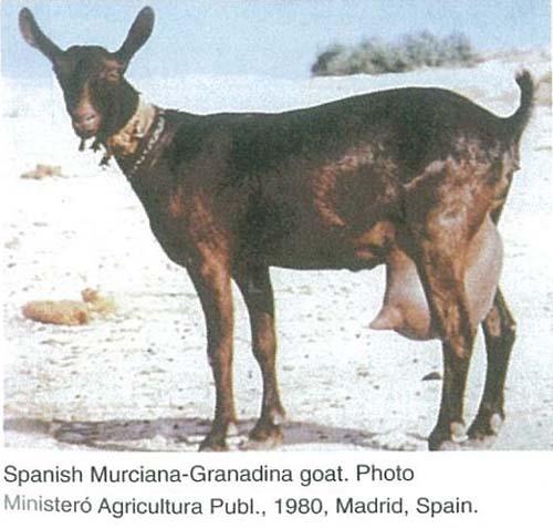 Murciana Dairy Goat