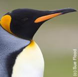 King penguin, The Falkland Islands (c) Sue Flood