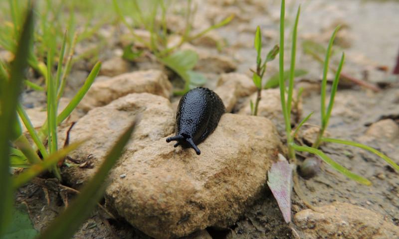 Slug crawling over a rock