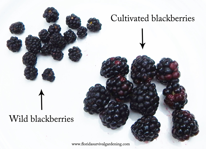 wild berries vs. cultivated berries