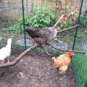 fundraising chickens
