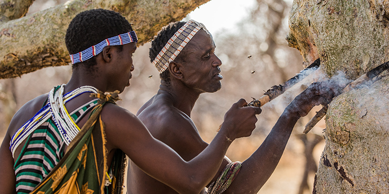 The Hadza hunt for honey in Mwiba Wildlife Reserve