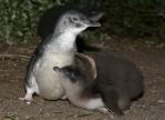 フィリップ島ペンギンの雛が増加