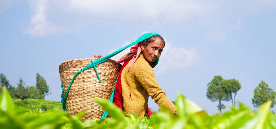 Woman in a tea field on a sunny day in Kumaon India