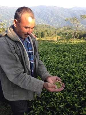 darjeeling tea plucker strike- young mountain tea