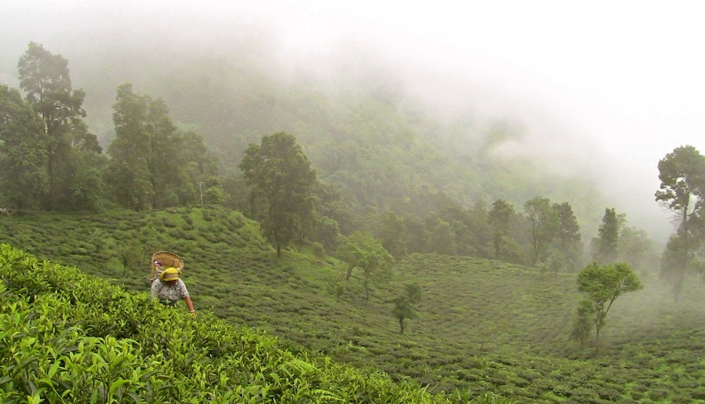 Misty day at the Makaibari Tea Garden in Darjeeling India with tea bushes, silver oaks, and tea pluckers in the background