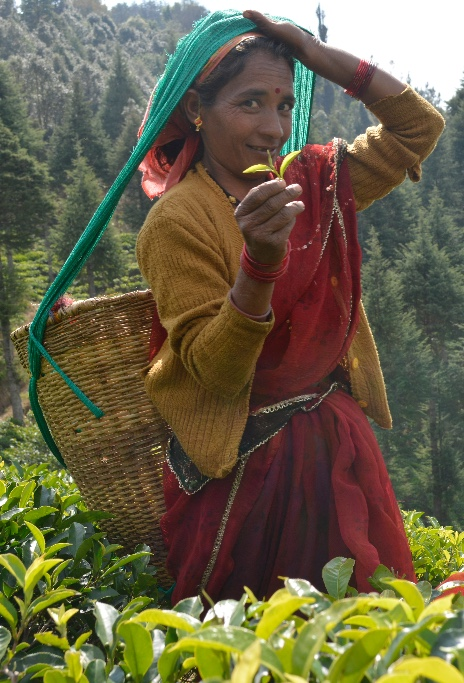 travel to india,guided tours, young mountain tea