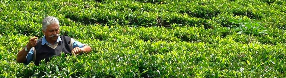 Indi Khana wading through tea field inspecting plants for growth and health