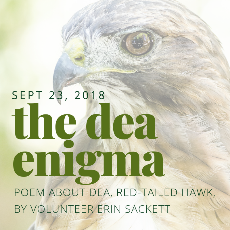 The Dea Enigma - Read a poem about Dea, our Red-tailed Hawk Ambassador, by volunteer handler Erin Sackett