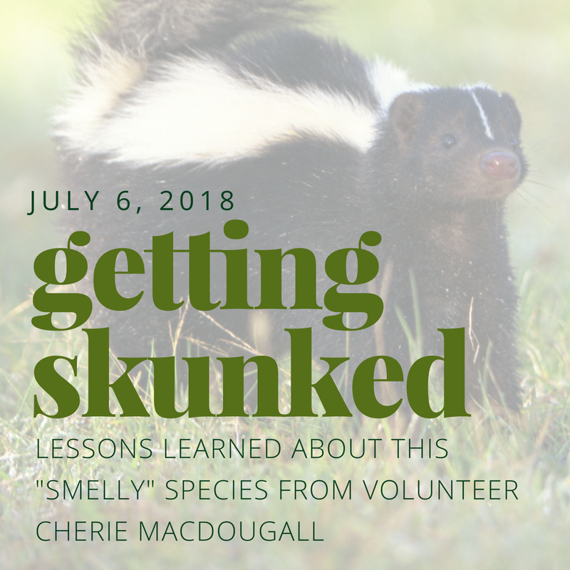 "Getting Skunked - Lessons learned about this ""smelly"" species from volunteer Cherie MacDougall"