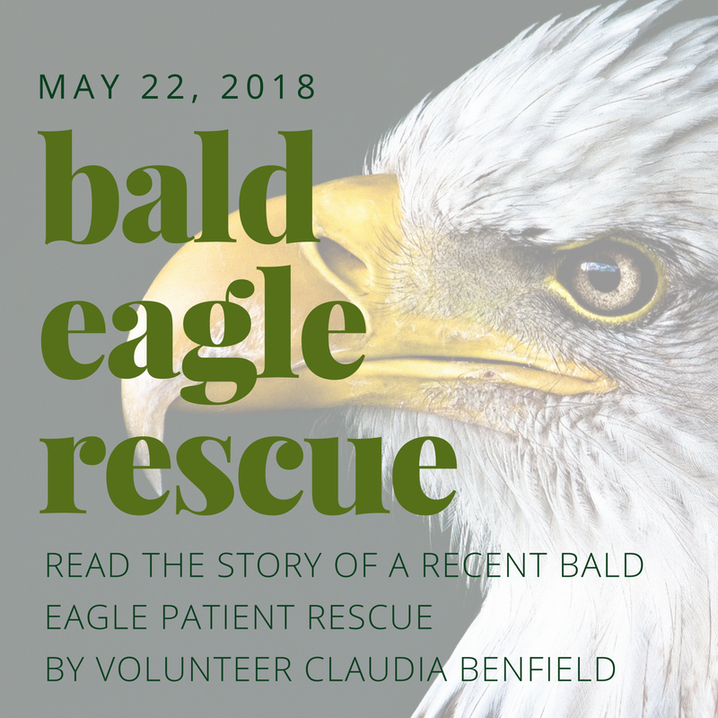 Bald Eagle Rescue - Read the story of a recent Bald Eagle patient rescue by volunteer Claudia Benfield