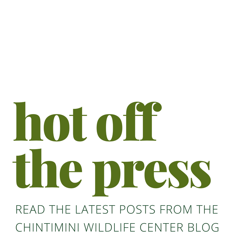 HOT OFF THE PRESS! Read the latest posts from the Chintimini Wildlife Center blog.