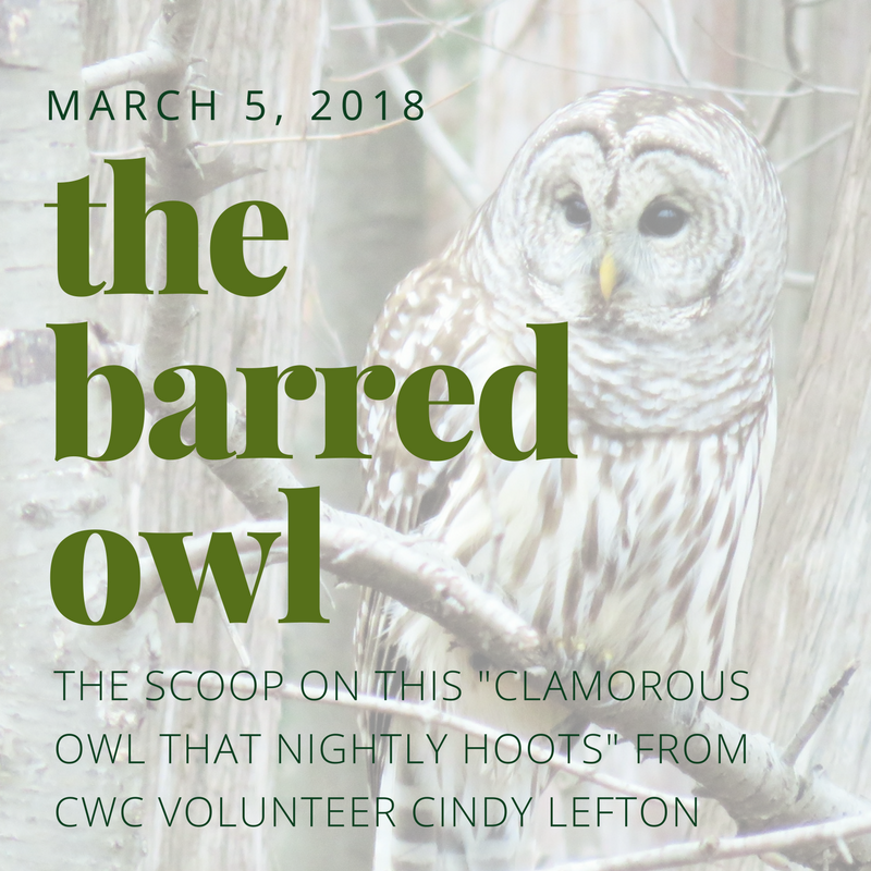 the barred owl by Cindy Lefton