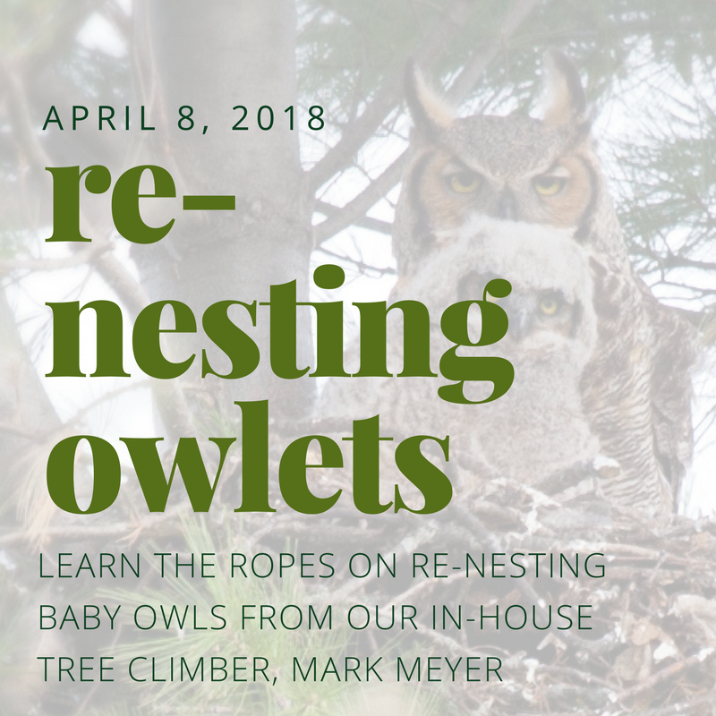 re-nesting owlets by Mark Meyer