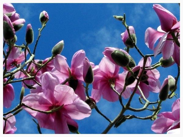 Spring Magnolia Tree