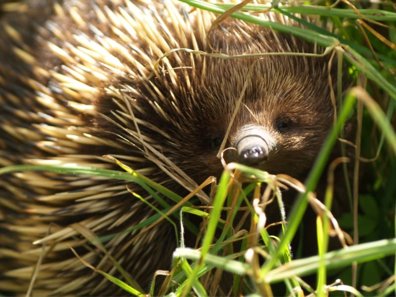 Echidna hiding in the grass- Parks Victoria Image library