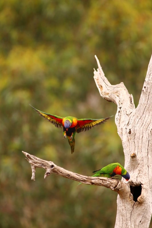 Are these lorikeets as well? image courtesy of Parks Victoria