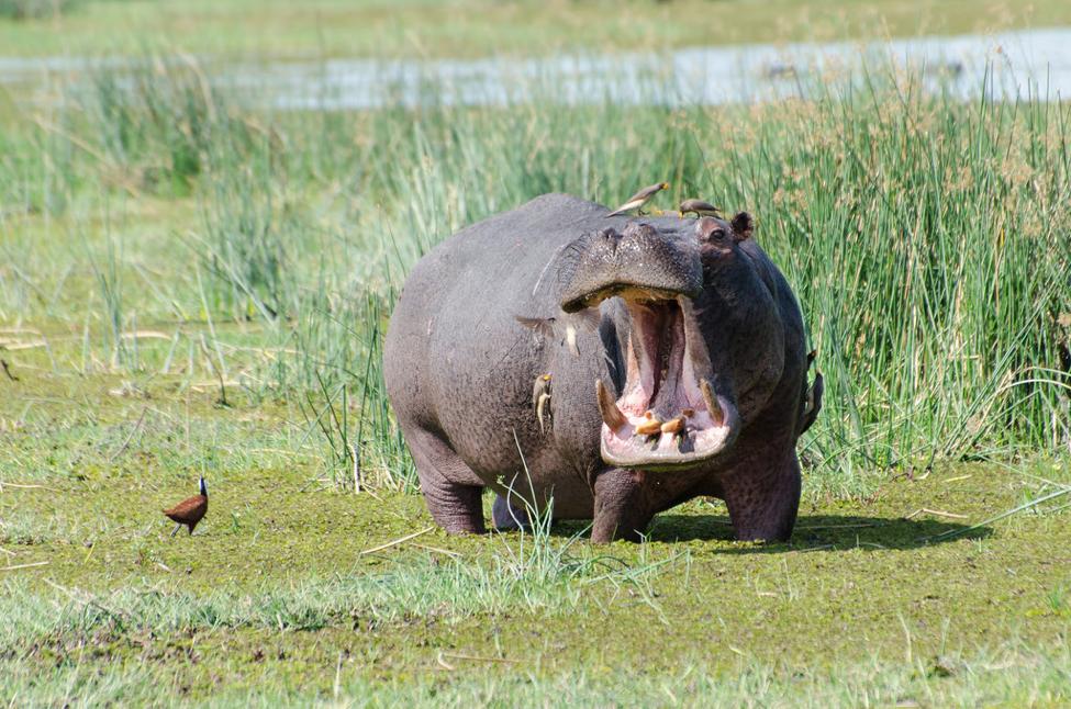 hippopotamus in Okavanga Delta