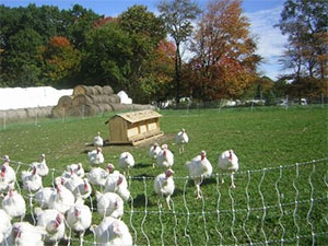 Turkeys at Hurd Farm