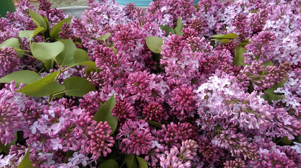 Lilacs from White Gate Farm