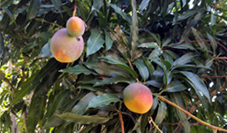 mangoes in dish