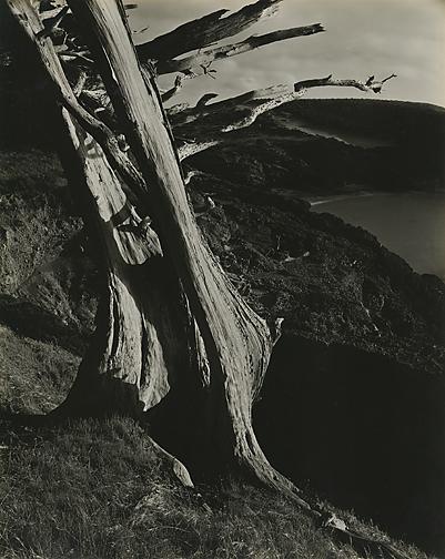 Edward Weston, Cypress, Point Lobos, 1930