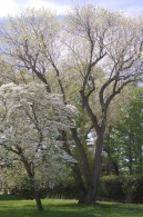 Halesia with dogwood in foreground